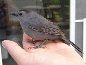 A Catbird Comes to Visit