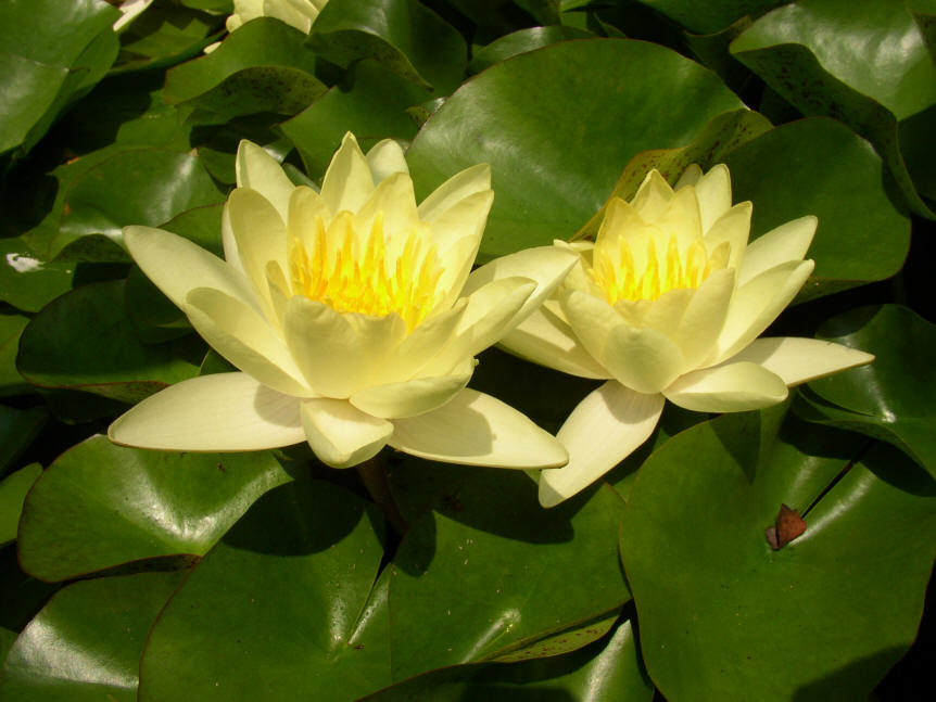 yellow water lily flower - photo #3