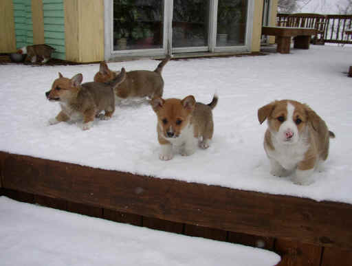 Our Welsh Corgi Puppies During Winter 2002-2003