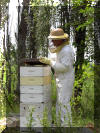 Mark checking hives in mid summer.
